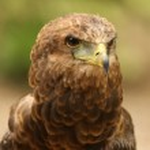 Bateleur Eagle — Stock Photo