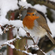 Robin in winter - Stock Photo
