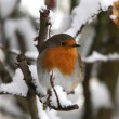 Robin in winter — Stock Photo #5848005