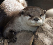 Young Otter — Stock Photo