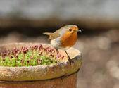 Male Robin — Stock Photo