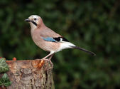 Jay on tree trunk — Stock Photo