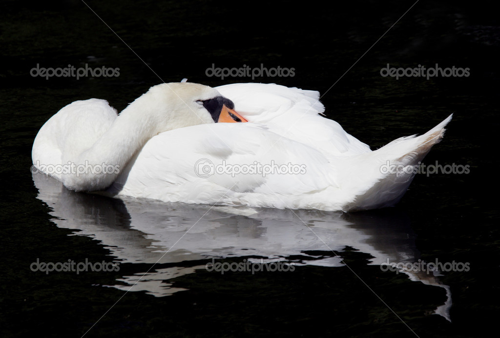 Portrait of a Mute Swan sleeping — Stock Photo #5842812
