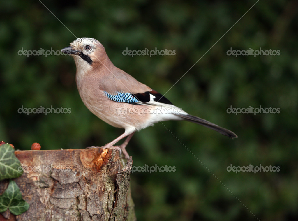 Portrait of a Jay perching on a tree trunk — Stock Photo #5848029