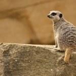 Meerkat — Stock Photo #6165852