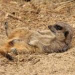 Meerkat — Stock Photo #6165902