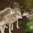 Grey Wolves — Stock Photo