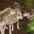 Grey Wolves - Stock Photo