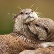 Oriental Short-Clawed Otters — Stock Photo