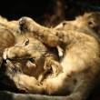 Stock Photo: Young AsiLion cubs