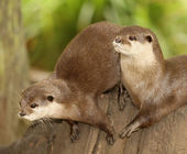 European Otters — Stock Photo