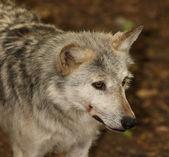 Graue Wolf — Stockfoto