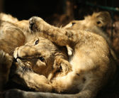 Young Asian Lion cubs — Stock Photo