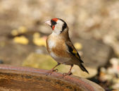 Goldfinch — Stock Photo