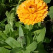 Calendula — Stock Photo #6522521