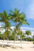 Coconut trees in tropical climate — Stock Photo