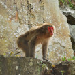 Stock Photo: Red-faced, Japanese monkey