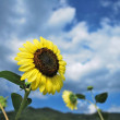Sunflowers in full bloom dancing in the wind — Stock Photo