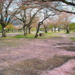 Withered cherry blossoms signaling end of spring — Stock Photo #5845086