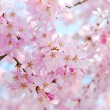 Cherry blossoms during spring - Stock Photo