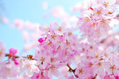 Cherry blossoms during spring — Stock Photo