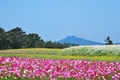 Field of flowers with volcano — Stock Photo