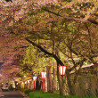 Постер, плакат: Cherry blossoms along a road