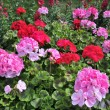 Red and pink geranium - Stock Photo