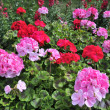 Stock Photo: Red and pink geranium