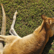 Stock Photo: Adult kangaroo resting on grass