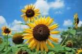 Sunflowers in full bloom. — Stock Photo
