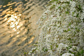 Small, white flowers against sunset — Stock Photo