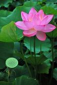 Lotus flower in full bloom — Stock Photo