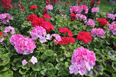 Red and pink geranium — 图库照片