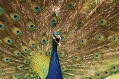 Peacock Screaming — Stock Photo