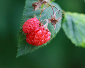 Wild Raspberry — Stock Photo