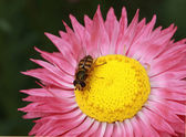 Rosy Sunray and Hoverfly — Stock Photo