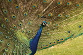 Peacock in Profile — Stock Photo