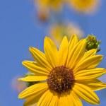 Sunflower against blue sky — Stock Photo #6536433