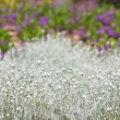 White decorative grass with colorful blurred backround — Stock Photo
