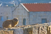 Rock Hyrax (Procavia capensis) at sunset — Stock Photo