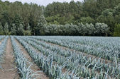 Leek field that can serve as a poster or screensaver — Stock Photo