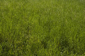 Tall grass — Stockfoto