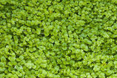 Small lightgreen succulent leaves for a background — Stok fotoğraf