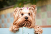 Yorkshire terrier portrait — Stock Photo