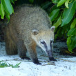 Trapped Coati — Stock Photo