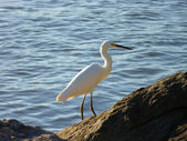 Posing Snowy Egret — Stock Photo