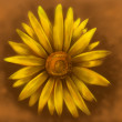 Yellow Daisy — Stock fotografie