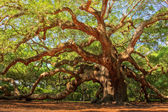 Angel Oak Canopy — Stock Photo