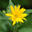 Jerusalem artichoke or girasol (Helianthus tuberosus) — Stock Photo #5972937